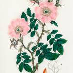 """Vintage Botanical Dog rose"" by FineArtClassics"
