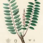 """Vintage Botanical Boswellia serrata"" by FineArtClassics"