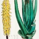 """Vintage Botanical Aloe Vulgaris"" by FineArtClassics"