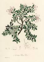 Vintage Botanical Bearberry