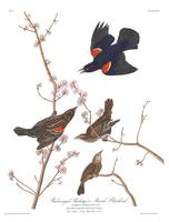 Audubon plate 67 red winged starling