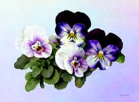 Four Pansies