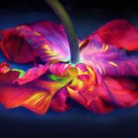 Flaming Tulip Rococo Art Prints & Posters by Jessica Jenney
