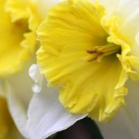 Daffodil Delight by Karen Adams
