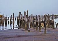 Black Crows on Pier Posts