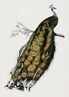 Vintage Illustration of Indian peafowl (Pavo Crist