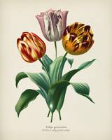Didier's tulip (Tulipa gesneriana) illustrated by