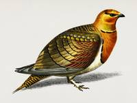 Pin-tailed sandgrouse (Ganga cata) illustrated by