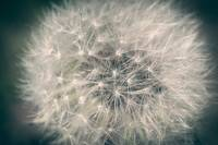 Detail of dandelion against blurred background