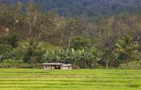 Padi field in Timor Leste