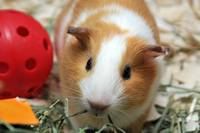 Chewing Guinea Pig