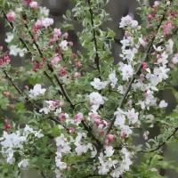 Crabapple Blossoms in Spring by Through The Split Window