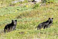 Baby black bears on hill
