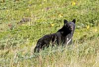 Mother Black Bear on hill
