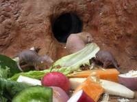 A Feast for Naked Mole Rats