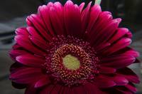 Deep red gerbera flowers macro photo photography