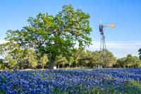 Texas Windmill and Bluebonnets 4-19