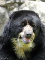 A Happy Andean Bear