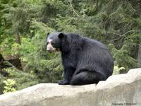 Andean Bear on the Rocks