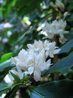 Wild Coffee Blossoms