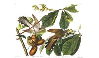 Audubon Yellow-billed Cuckoo