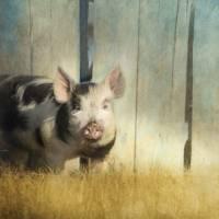 Little piglet Art Prints & Posters by Priska Wettstein