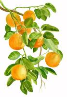 Oranges on a Branch