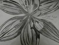 Pencil Drawing of a Lily