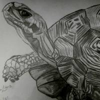 Tortoise Sketch Art Prints & Posters by Kimmary MacLean