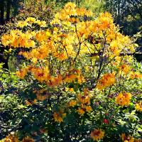 Orange Azalea Art Prints & Posters by Susan Savad