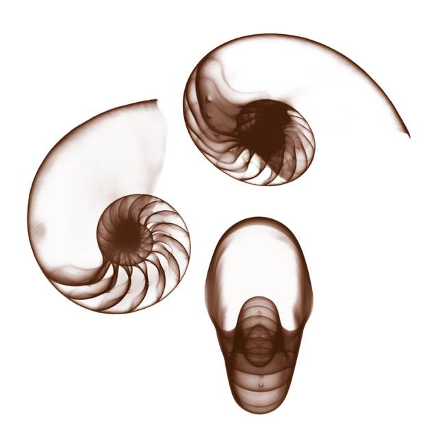 Chambered Nautilus Perspectives
