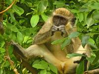 African Green Vervet Monkey Eating in Tree