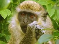 African Green Vervet Monkey Eating