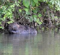 A Beaver Having a Snack