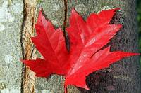 Maple leaf in red