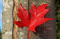 Maple leaf in the Autumn