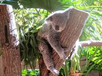 Lazy Koala in Tree 1a