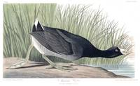American Coot, Plate 239