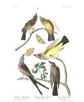 Arkansaw Flycatcher, Plate 359