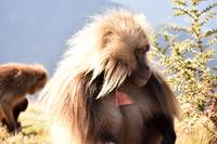 Gelada baboon looking away from camera, Ethiopia