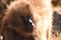 Gelada baboon staring off into the distance, Ethio