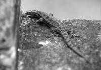 Black and white of patterned gecko on stone wall