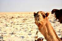 Curious camel on salt flats, Danakil Depression
