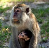 Mother macaque monkey holding her cute baby