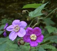 Purple Flowering Raspberry by Michael Stephen Wills