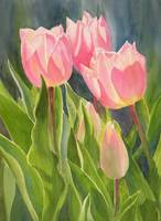Peach Colored Tulips 1