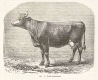 Ardennes cow
