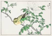 Brown-eared Bulbul and Rosa Rugosa illustration fr