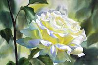 White Rose with Yellow Glow
