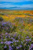 Antelope Valley Superbloom 2019 - Vertical